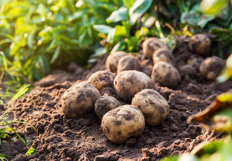 Potatoes: Contraindicated during Pregnancy