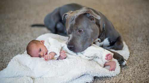 A pitbull snuggling with a newborn.