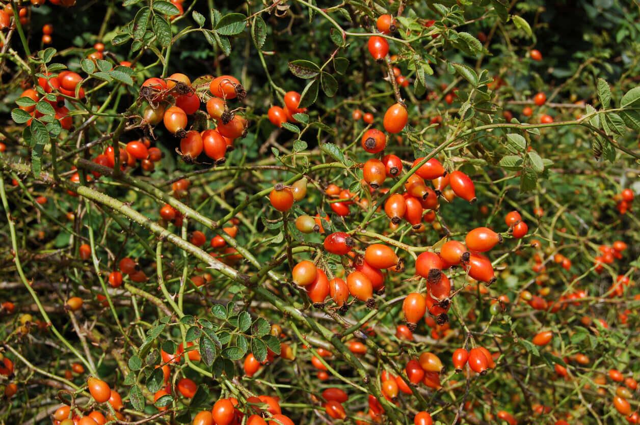 A rosehip bush.